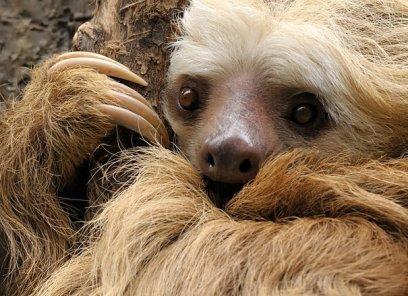 slothcloseup2toed